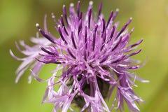 Ακανθωτό λουλούδι burdock στο πράσινο λιβάδι στοκ εικόνες με δικαίωμα ελεύθερης χρήσης
