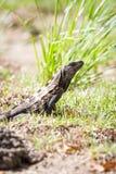 ακανθωτό παρακολουθημένο iguana στο έδαφος Στοκ Εικόνα