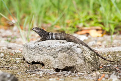 ακανθωτό παρακολουθημένο iguana στο βράχο Στοκ Εικόνες