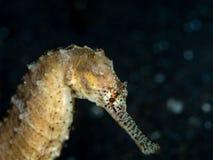 Ακανθωτό seahorse, ιππόκαμπος histrix Lembeh, Ινδονησία στοκ φωτογραφία