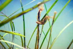 Ακανθώδης ιππόκαμπος Seahorse που δένεται σε ένα φύκι Posidonia στοκ εικόνες