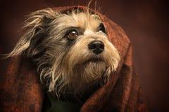 Ακατάστατο σκυλί τρίχας Στοκ Εικόνες