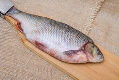 Ακατέργαστα ψάρια IDE Στοκ Εικόνες