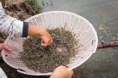 Ακατέργαστες γαρίδες Στοκ φωτογραφία με δικαίωμα ελεύθερης χρήσης