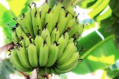 Ακατέργαστες μπανάνες στο δέντρο Στοκ φωτογραφίες με δικαίωμα ελεύθερης χρήσης
