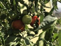 Ακατέργαστες ντομάτες κήπων κάτω από τον ήλιο Στοκ φωτογραφία με δικαίωμα ελεύθερης χρήσης