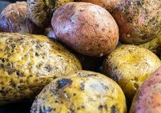 Ακατέργαστες πατάτες στον πίνακα Στοκ φωτογραφία με δικαίωμα ελεύθερης χρήσης