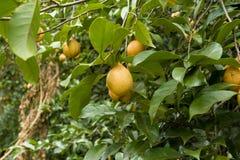 Ακατέργαστη ένωση μοσχοκάρυδου στο δέντρο μοσχοκάρυδου, ο Βορράς Sulawesi στοκ φωτογραφία με δικαίωμα ελεύθερης χρήσης