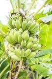 Ακατέργαστη ώριμη έννοια φρούτων φύλλων φυτών δέντρων μπανανών Στοκ Εικόνα