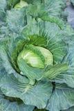 Ακατέργαστο λάχανο. Στοκ Φωτογραφία