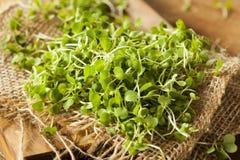 Ακατέργαστο πράσινο Arugula Microgreens Στοκ εικόνα με δικαίωμα ελεύθερης χρήσης