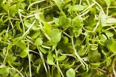 Ακατέργαστο πράσινο Arugula Microgreens Στοκ φωτογραφίες με δικαίωμα ελεύθερης χρήσης