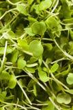 Ακατέργαστο πράσινο Arugula Microgreens Στοκ εικόνες με δικαίωμα ελεύθερης χρήσης