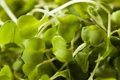 Ακατέργαστο πράσινο Arugula Microgreens Στοκ φωτογραφία με δικαίωμα ελεύθερης χρήσης
