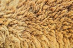 Ακατέργαστο υπόβαθρο μαλλιού προβάτων Στοκ Εικόνα