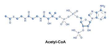 Ακετυλικό coenzyme Α μόριο Στοκ Εικόνα