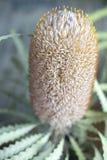 Ακιδωτός κατασκευασμένος κώνος εγκαταστάσεων Banksia στοκ φωτογραφίες με δικαίωμα ελεύθερης χρήσης