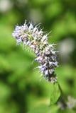 Ακιδωτό ιώδες κεφάλι λουλουδιών Στοκ Φωτογραφία