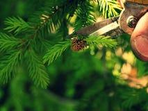Ακιδωτό πένσας καλλιτεχνικό δέντρο μπονσάι κηπουρών τακτοποιώντας Η περικοπή ο κλαδίσκος Στοκ φωτογραφία με δικαίωμα ελεύθερης χρήσης