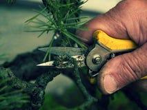 Ακιδωτό πένσας καλλιτεχνικό δέντρο μπονσάι κηπουρών τακτοποιώντας Η περικοπή ο κλαδίσκος Στοκ Εικόνες