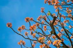 Ακμασμένο jasmin δέντρο Στοκ Φωτογραφίες