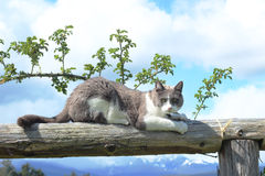 Ακονίζοντας νύχια γατών στο ξύλο Στοκ Εικόνα