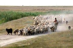 ακουσμένα πρόβατα στοκ εικόνες με δικαίωμα ελεύθερης χρήσης