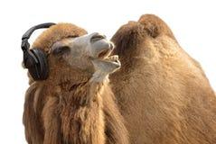ακουστικά καμηλών που τραγουδούν παθιασμένα Στοκ Εικόνα