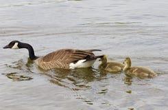 Ακολουθήστε για το mom σας Στοκ εικόνα με δικαίωμα ελεύθερης χρήσης