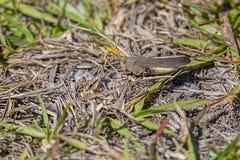 Ακρίδα της Καρολίνας, Grasshopper Στοκ Εικόνες