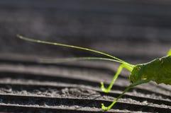 ακρίδα στοκ φωτογραφία με δικαίωμα ελεύθερης χρήσης