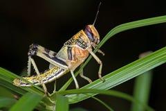 Ακρίδα ερήμων (Schistocerca Gregaria) Στοκ Εικόνες