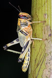 Ακρίδα ερήμων (Schistocerca Gregaria) Στοκ Εικόνα