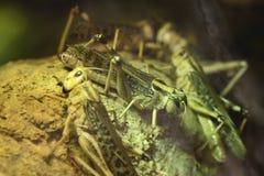 Ακρίδα ερήμων (Schistocerca Gregaria) Στοκ εικόνα με δικαίωμα ελεύθερης χρήσης