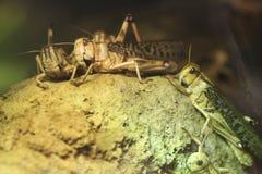 Ακρίδα ερήμων (Schistocerca Gregaria) Στοκ φωτογραφίες με δικαίωμα ελεύθερης χρήσης