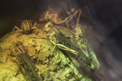Ακρίδα ερήμων (Schistocerca Gregaria) Στοκ Φωτογραφίες