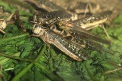 Ακρίδα ερήμων (Schistocerca Gregaria) Στοκ εικόνες με δικαίωμα ελεύθερης χρήσης