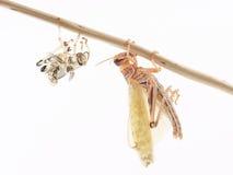 Ακρίδα, gregaria Schistocerca ακρίδων ερήμων, αμέσως μετά από το molt Στοκ φωτογραφίες με δικαίωμα ελεύθερης χρήσης