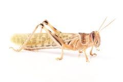 Ακρίδα, gregaria Schistocerca ακρίδων ερήμων, αμέσως μετά από το molt Στοκ Εικόνα