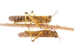 Ακρίδα, gregaria Schistocerca ακρίδων ερήμων κατά τη διάρκεια της εποχής ζευγαρώματος Στοκ φωτογραφίες με δικαίωμα ελεύθερης χρήσης