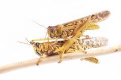 Ακρίδα, gregaria Schistocerca ακρίδων ερήμων κατά τη διάρκεια της εποχής ζευγαρώματος Στοκ φωτογραφία με δικαίωμα ελεύθερης χρήσης