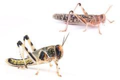 Ακρίδα, gregaria Schistocerca ακρίδων ερήμων, χρυσαλίδες και ενήλικο έντομο Στοκ φωτογραφίες με δικαίωμα ελεύθερης χρήσης