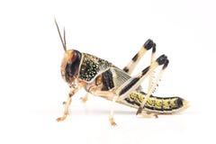 Ακρίδα, gregaria Schistocerca ακρίδων ερήμων, χρυσαλίδες Στοκ εικόνα με δικαίωμα ελεύθερης χρήσης