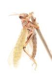 Ακρίδα, gregaria Schistocerca ακρίδων ερήμων Στοκ Φωτογραφίες