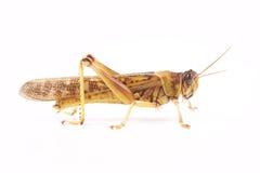 Ακρίδα, gregaria Schistocerca ακρίδων ερήμων Στοκ Εικόνες