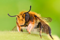 Ακραία ενίσχυση - μέλισσα μοναχικών, Megachilidae Στοκ Εικόνες