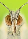 Ακραία ενίσχυση - πεταλούδα cardamine Anthocharis Στοκ εικόνα με δικαίωμα ελεύθερης χρήσης