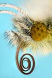 Ακραία ενίσχυση - πεταλούδα cardamine Anthocharis Στοκ Εικόνα
