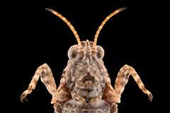 Ακραία ενίσχυση - grasshopper γρύλων Στοκ εικόνα με δικαίωμα ελεύθερης χρήσης