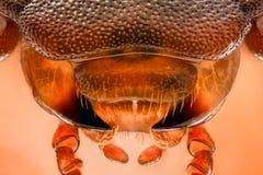 Ακραία ενίσχυση - Mealworm σαγόνια κανθάρων, molitor Tenebrio Στοκ φωτογραφία με δικαίωμα ελεύθερης χρήσης